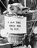 I am the first pig to fly