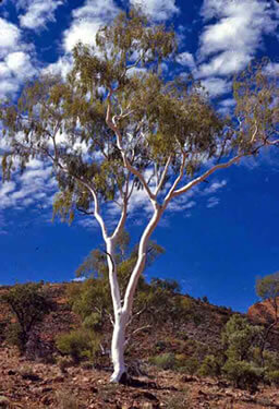 up a gum tree